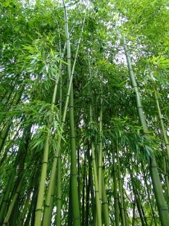 pohon bambu(1)
